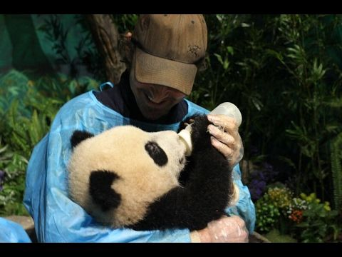 Thranduil becomes a panda babysitter? Movie star Lee Pace visits giant pandas in Chengdu - YouTube