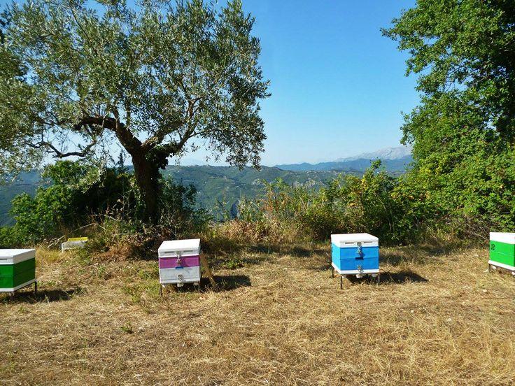 Το μελισσοκομείο στα όρη του Βάλτου, Αιτωλοακαρνανία, στις βελανιδιές. Εδώ το καλοκαίρι παράγεται ένα σκουρόχρωμο μέλι με ιδιαίτερη, απαλή, γεύση. Our Apiary on mountain range of Pindos in northern Greece. Bees collect oak honeydew.