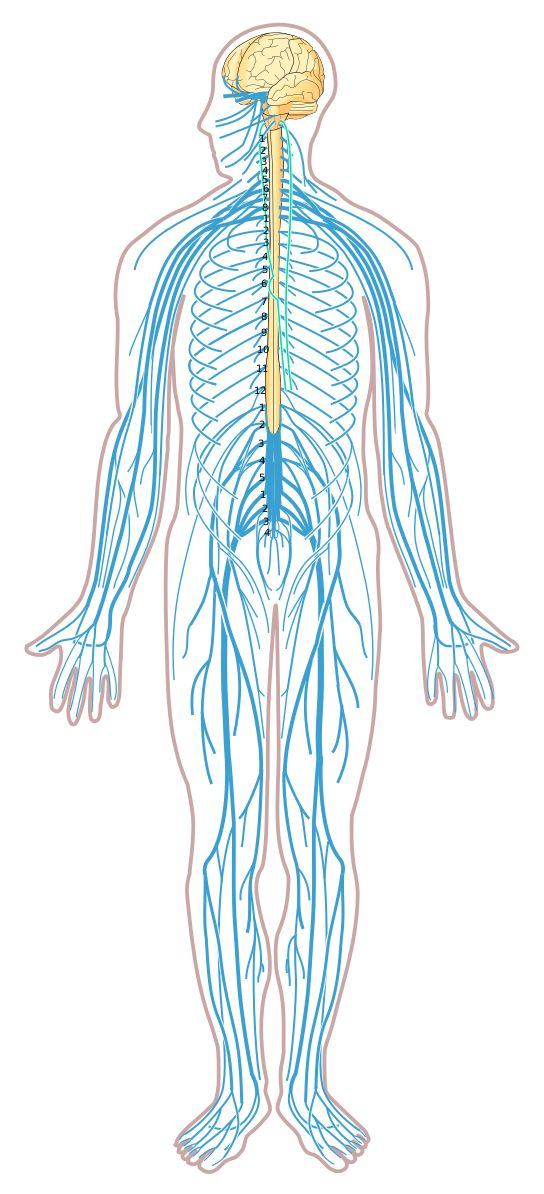 File Nervous System Diagram Unlabeled Svg