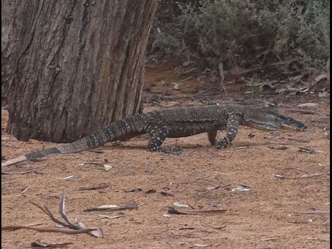 Found this nice Goanna, Australian Lace Monitor lizard, while camping on the Murray River in South Australia. I just love these big reptile lizards, I can watch them all day. Nothing better than to...