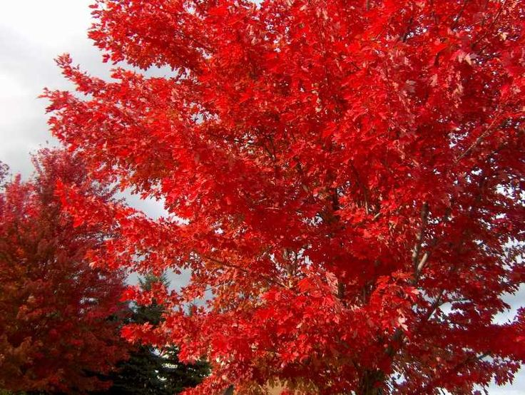 Acer Rubrum : Red Maple : Fall Color