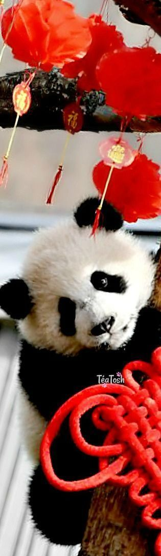 ❇Téa Tosh❇ The cubs were born in 2017 at the Shenshuping Base of the China Conservation and Research Centre for the Giant Panda. 2018 Chinese people around the world are celebrating the arrival of their Lunar New Year - with big family banquets,...
