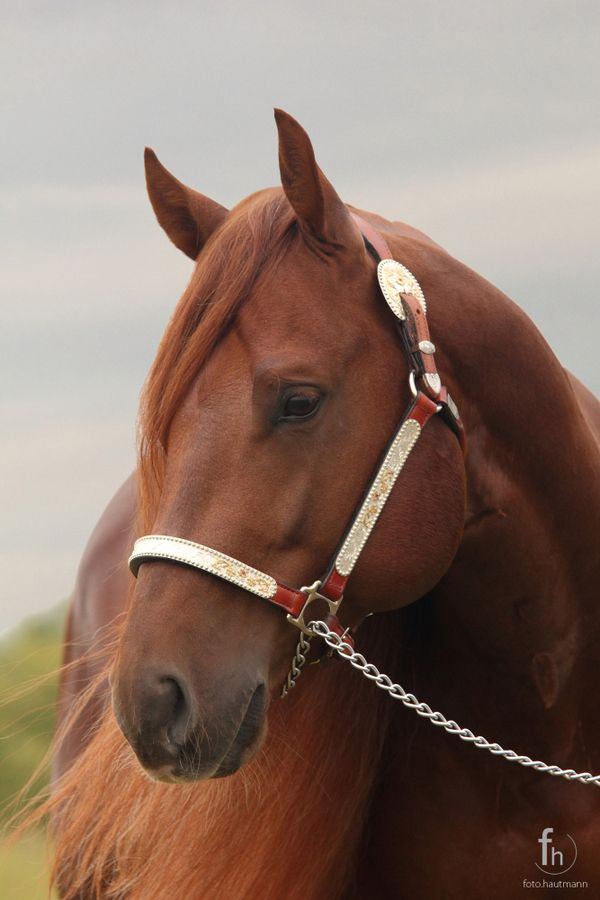 Quarter Horse Hengst by Thomas Hautmann, via 500px