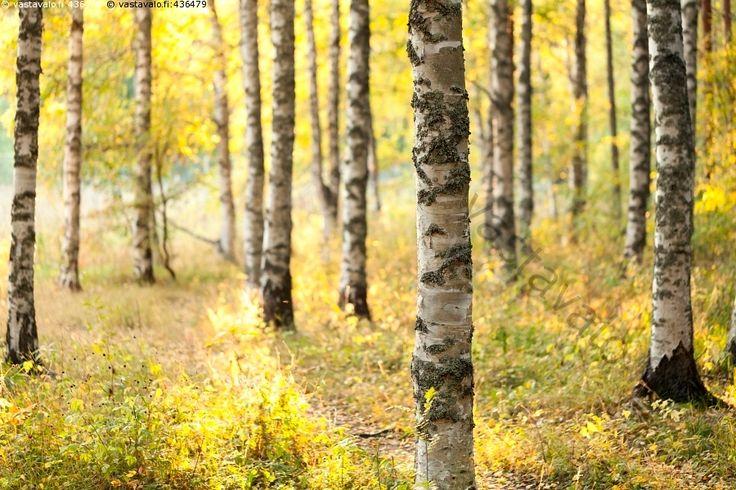 Koivuja syysmetsässä - koivu koivut metsä rungot runko runkoja syksy syksyinen syys puu puut metsämaisema Betula koivikko koivumetsä kellastuu kellastuva keltainen