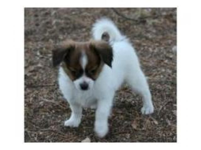 Male and female Papillon puppies
