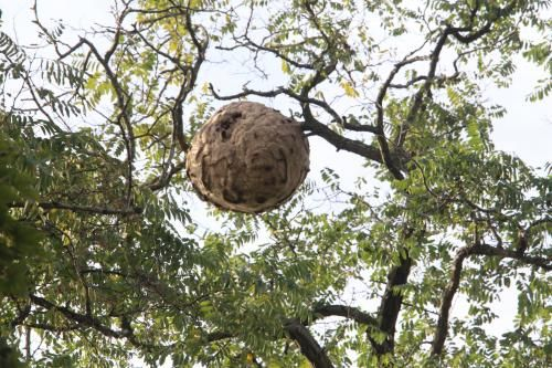 Wattignies : un énorme nid de frelons asiatiques découvert par un apiculteur http://vdn.lv/PJD6xX