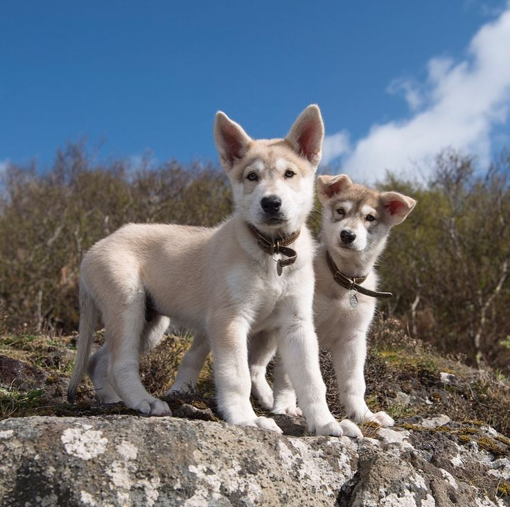 Rollo! Meet the pups that have been cast to play in for Season4 https://www.hotelscombined.fr/Hotel/Blue_Margouillat_Seaview_Hotel_Saint_Leu.htm?a_aid=150886