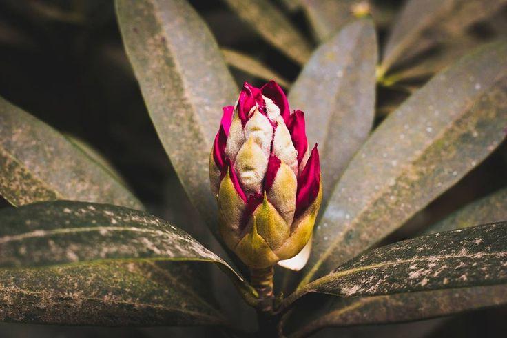 #azalea #benviegardens #karkloof #photobug #photoshare #photographer #photography #canon60d #canonphotography #naturephotography #naturelover #foreversouthafrica #fortheloveofphotography #loves_southafrica #pixel_panda #instagramza #instgram #instagramsa #southafricaza #kznmidlands #instaflower #flowerphotography #flowersofinstagram #instagram_sa #beautifulplaces #ournaturephotos