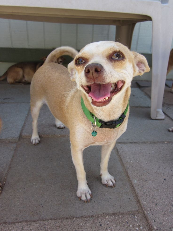 Ashlyn is a happy little chihuahua mix that was adopted at