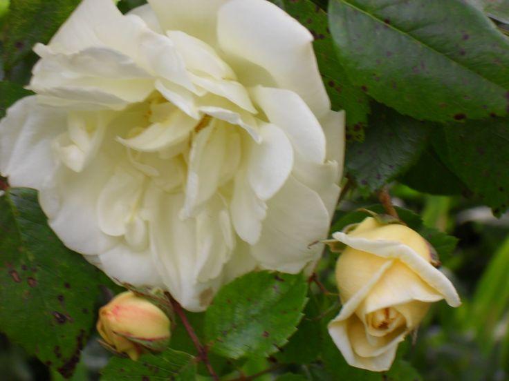 "Alistair Clark Rose ""Milkmaid"""