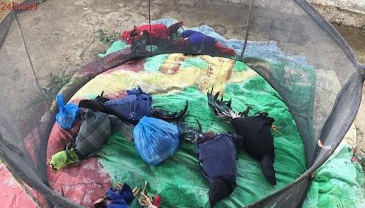 Rinha de galos é desmantelada pela Polícia Militar em Mantena