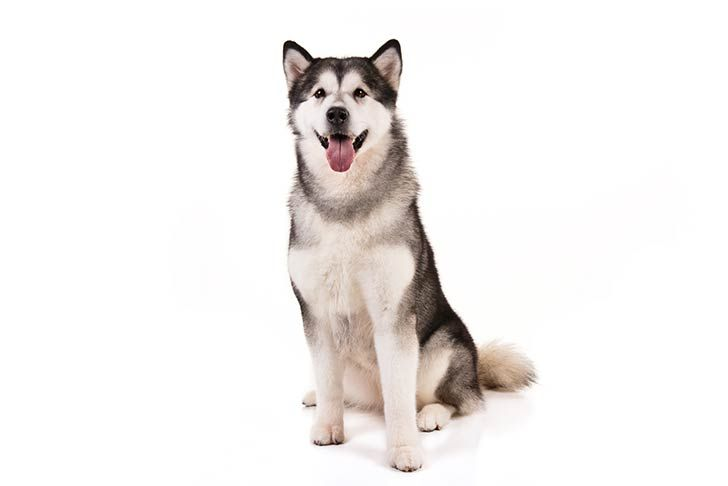 Alaskan Malamute Dog Breed Information Malamute Dog Alaska Dog