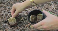 Elle plante des sachets de thé dans son jardin, ce qui est arrivé est plus…