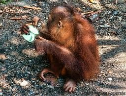 Orang Utan, Borneo Island.