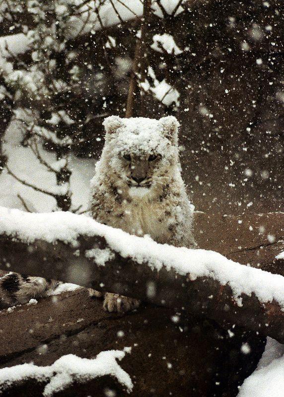 "earthcats: ""Snow Leopard Cub by Dave Brigham """