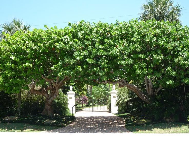 Sea grape trees for some privacy