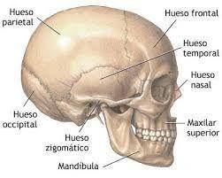 Resultado de imagen para huesos del cuerpo humano