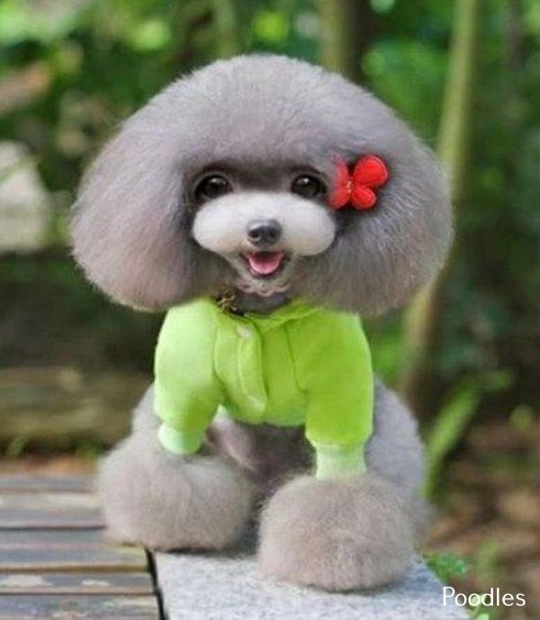 Poodles Smart Active And Proud Cute Animals Warm Dog Coat Dog Coats