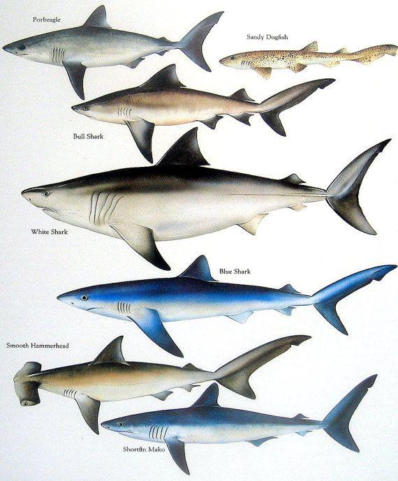 Porbeagle, Bull Shark, Sandy Dogfish, White Shark, etc. Vintage 1984 Fish Book Plate