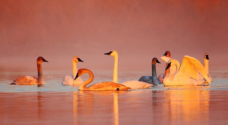 Swans at Sunrise, Danny Brown: Swan Tasi, Exotic Birds, Animal Kingdom, Danny Brown, Travel Photo, Swan Lov, Animal F Feathers, Birds Sanctuary, Trumpets Swan