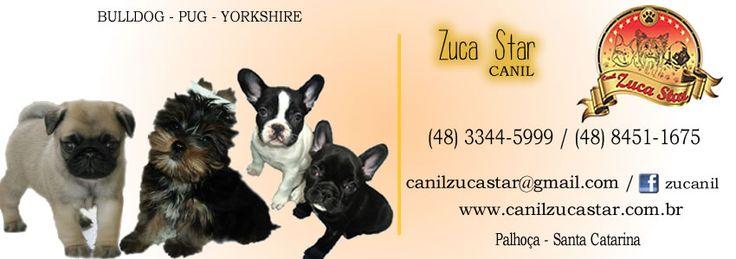 ► Filhotes de Yorkshire, Pug e bulldog francês ◄  .     Contato: (48) 3344-5999 ou (48) 8451-1675  https://www.facebook.com/zucanil?fref=ts