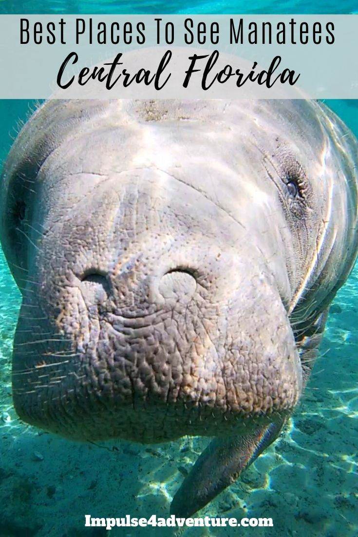5 Best Places To See Manatees In Florida This Winter Places To See Wildlife Travel Manatee