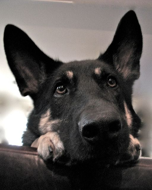 Harper pondering...my sweet german shepherd girl