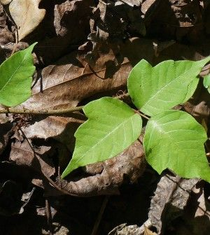 How To Treat Poison Ivy Using Natural Sources In The Wild...Some Say This Is The Best Poison Ivy Treatment Ever.  http://www.thegoodsurvivalist.com/how-to-treat-poison-ivy-using-natural-sources-in-the-wild-some-say-this-is-the-best-poison-ivy-treatment-ever/