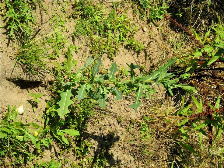 Kompass-Lattich, wilder Lattich (Lactuca serriola)