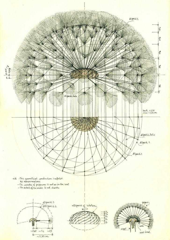 Dandelion Structure Dandelion Art Botanical Drawings Botanical Illustration