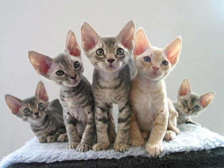 Gatos Devon Rex