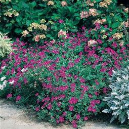 Géranium vivace sanguineum
