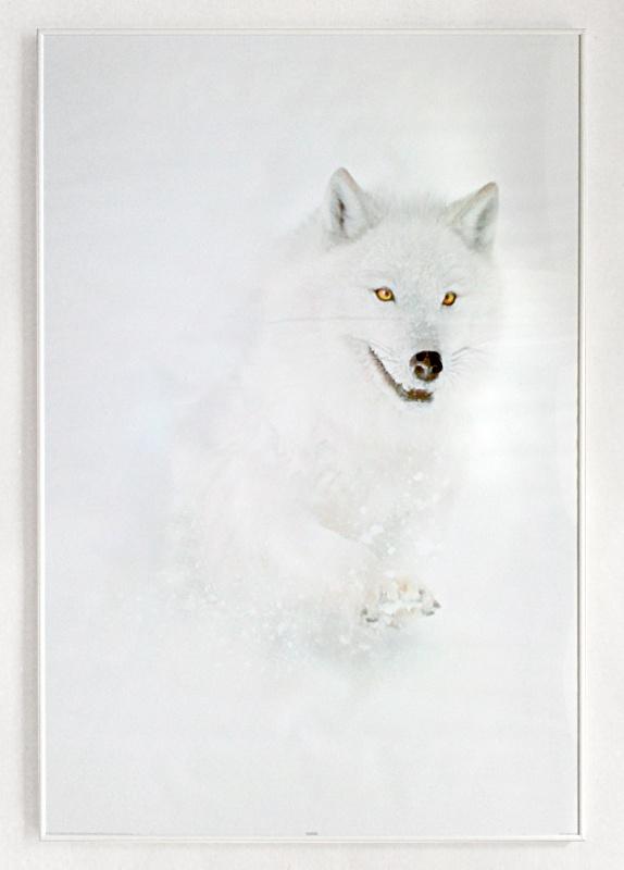 Arctic Wolf - canis lupus - plakat w białej ramie - Galeria Plakatu