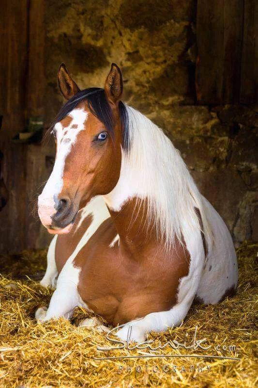 Paint horse lying in the horse stall.