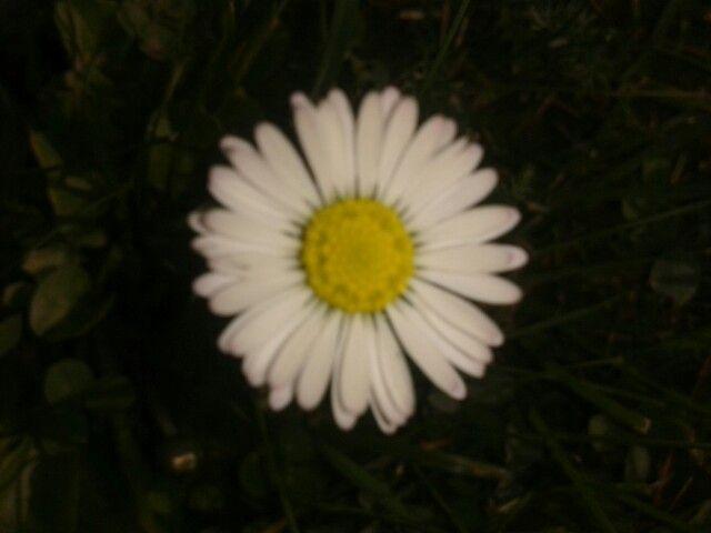 Stokrotka, kwiat. Moje autorstwo.