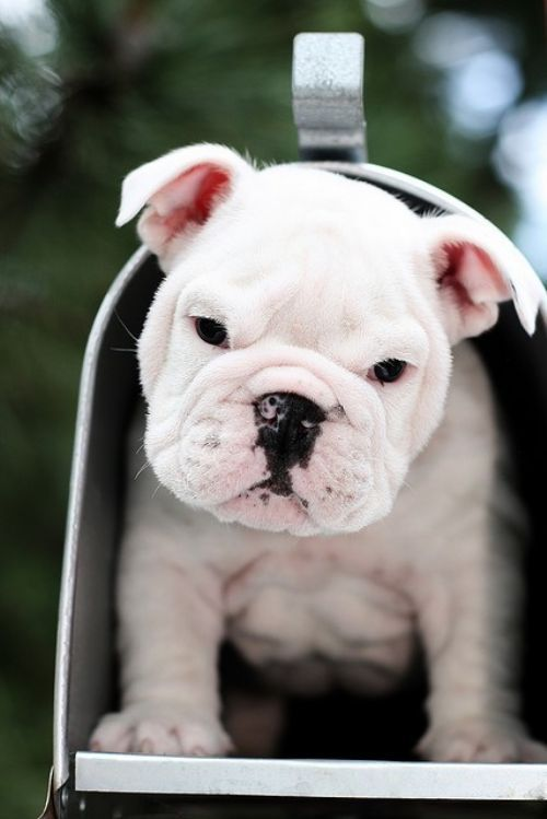 Actually, I think this is a English bull puppy, but I could't resist him.  Could you resist if you found this in our mailbox ?