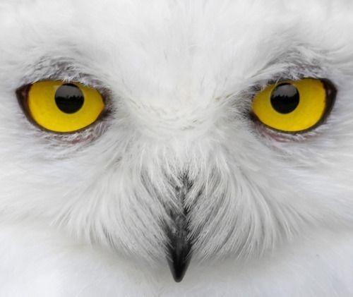 ...: Animals, Owl Eyes, Nature, Beautiful, Photo, White Owl, Birds, Snowy Owl, Owls