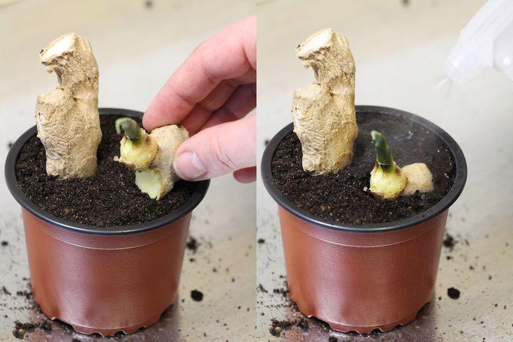 Ingwer anbauen – so bauen Sie Ingwerpflanzen selbst an – Hausgarten.net   – Garten
