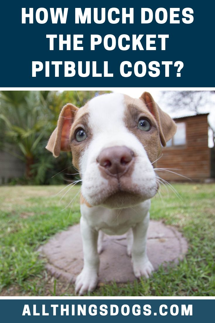 The average Pocket Pitbull price is anywhere between