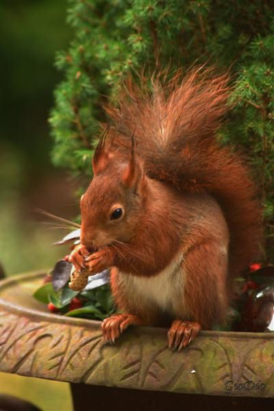 Eddy , de eekhoorn  #squirrel