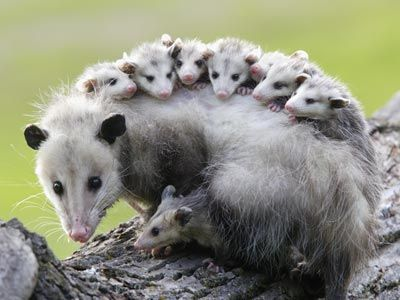 Opossum mother and her babies