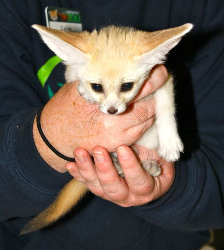 Fennec Fox baby from the Chattanooga Zoo D Animals
