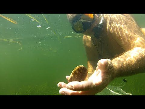 Great Scalloping in St. Joseph Bay, Gulf County Florida