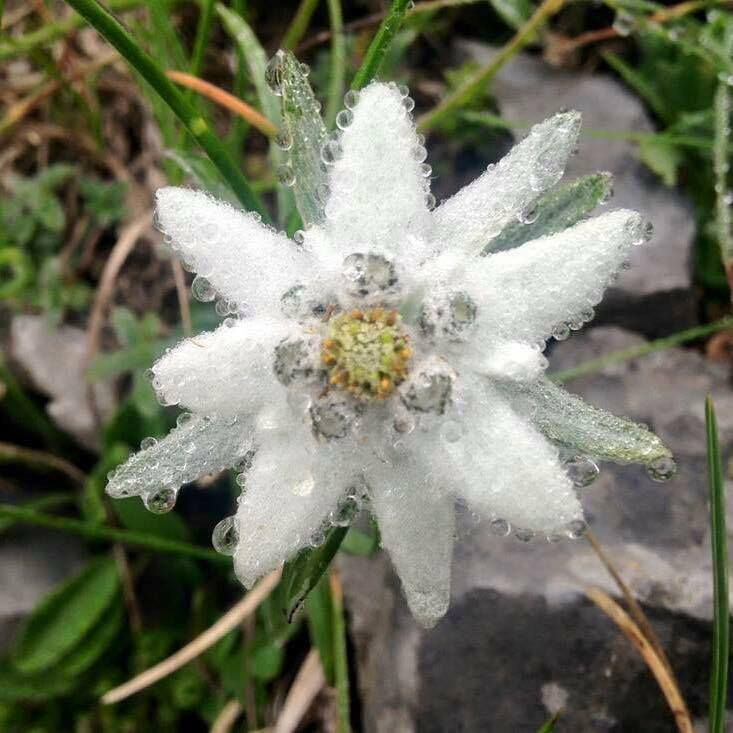 Edelweiss, Mountains of Salzburg, AUSTRIA The real flower, so lovely