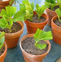 C'est le second de bouturer les hortensias: simplissime!