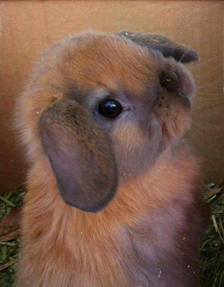 Baby Lop-eared Rabbit