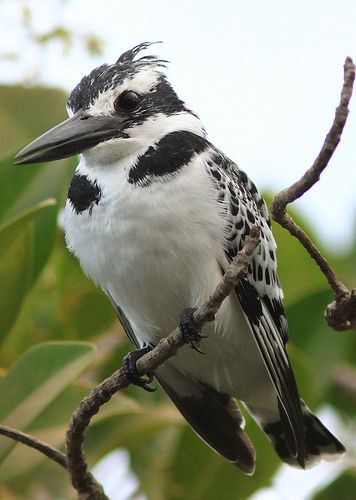Pied Kingfisher (Ceryle rudis) Sub-Saharan Africa, S Asia from Turkey to India to China.