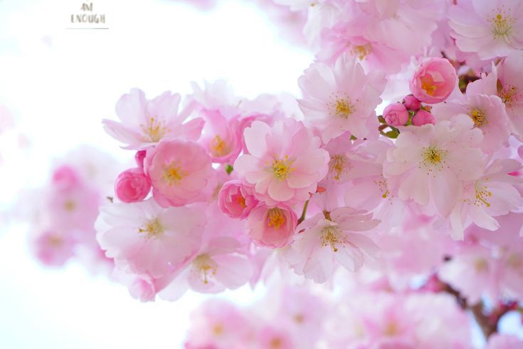 I Am Enough Inspirational Canvas Etsy Japanese Cherry Tree Flower Wallpaper Flower Images