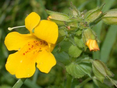 Mimulus, fiore di Bach - Mimulus guttatus utile contro la paura del buio che assale i bambini o gli aduti soprattutto di notte
