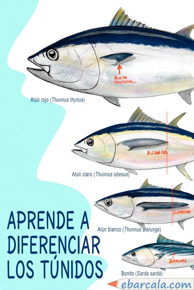 Distingue los principales atunes. Es fácil. #atunes #tuna